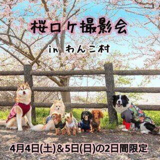 桜ロケ撮影会 in わんこ村、4/4日(土),5(日)の2日間限定で開催!